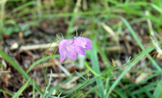 baldypassflower1