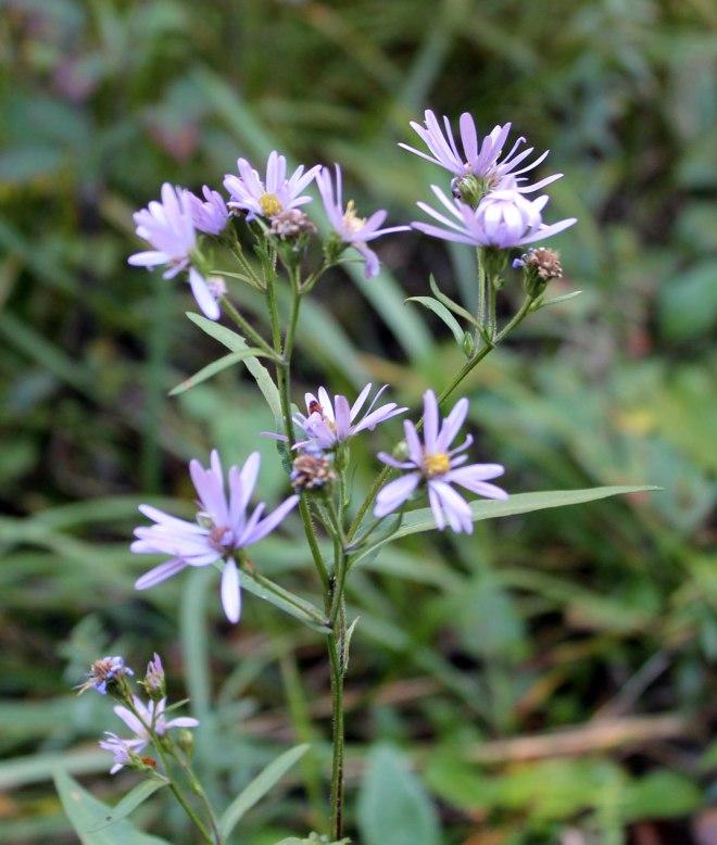 Baldypassflower2